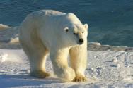 위키백과=북극 곰