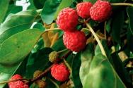 꾸지뽕 열매